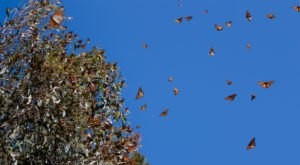 Record Numbers Of Monarch Butterflies To Pass Through Texas Next Month