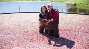 Help With A Cranberry Harvest At The Nantucket Cranberry Festival In Massachusetts