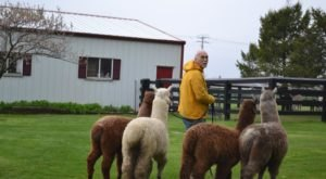 Don't Miss The Live Hands-On Festivities At Der Bauernhof Farms, An Alpaca Farm In Illinois