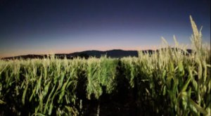 Walk Through A Creepy Cornfield Maze At The Staheli Farm Field Of Screams In Utah