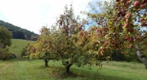 Visit Stribling Orchard, A 35-Acre U-Pick Apple Farm In Virginia