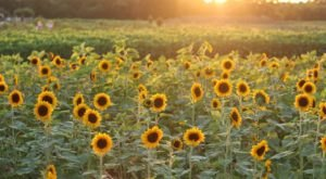 Wild Berry Farm Has The Most Massive Sunflower Field In Texas