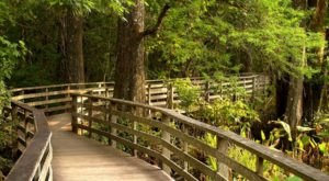 Hike The Zig Zag Boardwalk Through Corkscrew Swamp Sanctuary In Florida