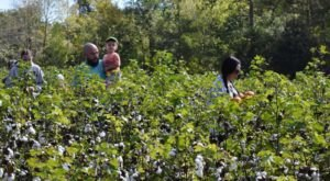 Make Your Way Through A 4-Acre Cotton Field Maze At Cotton Hills Farm This Fall In South Carolina