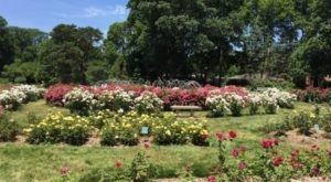 Stroll Through More Than 12,000 Roses During A Visit To Columbus Park Of Roses In Ohio