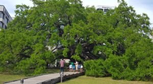 At Over 250 Years Old, The Treaty Oak Is One Of The Oldest Trees In Florida