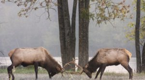 View A Wild Elk Herd In Boxley Valley For A Magical Experience In Arkansas