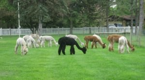 Blue Spruce Alpaca Farm In Indiana Makes For A Fun Family Day Trip
