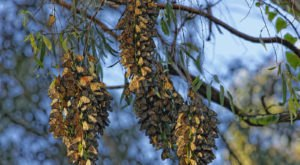 A Butterfly Migration Super Highway Could Bring Millions Of Monarchs Through Northern California This Fall