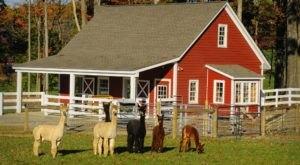 Bluebird Alpaca Farm In New Jersey Makes For A Fun Family Day Trip