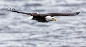 Each Fall In Iowa, Port Louisa National Wildlife Refuge Comes Alive With Soaring Bald Eagles