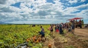 Choose From More Than A Dozen Varieties Of Pumpkins At Hawaii's Aloun Farms' 2019 Pumpkin Festival