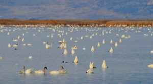 Thousands Of Tundra Swans Are Headed Straight For Utah This Fall