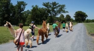 You Can Hike With Llamas At Lower Sherwood Farm In Virginia