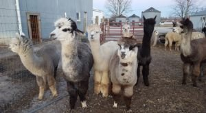 YaYa's Alpaca Farm In Missouri Makes For A Fun Family Day Trip