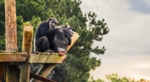 Watch Hundreds Of Chimps At The Next Discovery Day At Chimp Haven In Louisiana