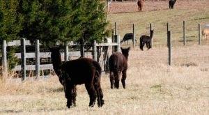 Villa de Alpacas Farm In Maryland Makes For A Fun Family Day Trip