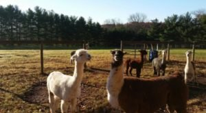 There's A Guesthouse On This Alpaca Farm In Pennsylvania And You Simply Have To Visit