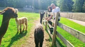 Eclipse Alpacas Near Detroit Makes For A Fun Family Day Trip