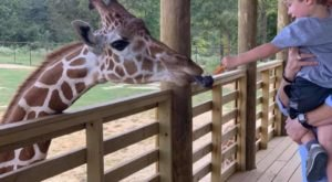 Feed Giraffes, Ride Camels, And Enjoy Other Up Close Animal Encounters At Mississippi's Safari Wild