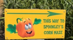 Get Lost In Nelson's Pumpkin Patch And Corn Maze In North Dakota This Autumn
