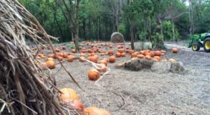 Pick Your Own Pumpkins At Sugar Roots Farm In New Orleans