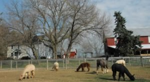 Bent Pine Alpaca Farm In Pennsylvania Makes For A Fun Family Day Trip