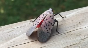 The Invasive Spotted Lanternfly Is Threatening $18 Billion Of Pennsylvania Agriculture