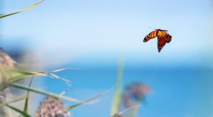 A Butterfly Migration Super Highway Could Bring Millions Of Monarchs Through North Carolina This Fall