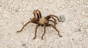 Giant Tarantulas Can Be Spotted By The Thousands Around Northern California Right Now