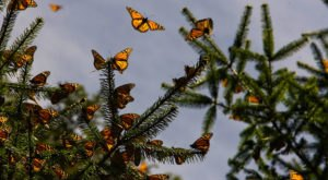 A Butterfly Migration Super Highway Could Bring Millions Of Monarchs Through Arizona This Fall