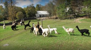 Skyeview Alpaca Farm In New Hampshire Makes For A Fun Family Day Trip