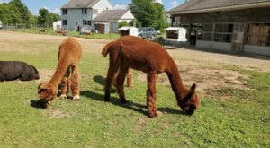 Northern Solstice Alpaca Farm In Maine Makes For A Fun Family Day Trip