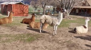 Utah Valley Llamas Farm In Utah Makes For A Fun Family Day Trip