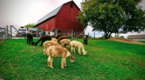 Thistle Creek Alpaca Farm Near Buffalo Makes For A Fun Family Day Trip