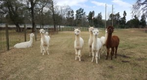 Spend The Night With Over 70 Llamas And Alpacas At Figment Ranch In Texas