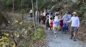 Hike With Llamas At Llamapalooza At Chimney Rock State Park In North Carolina