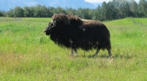 Spend An Autumn Afternoon With The Mighty Musk Oxen On Their Farm In Palmer, Alaska