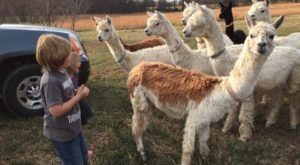 You Can Shop And Exercise With Alpacas At Zena Suri In Oklahoma