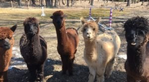 Lilymoore Alpaca Farm In New York Makes For A Fun Family Day Trip