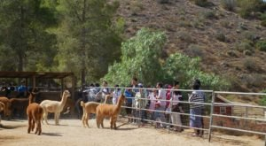 Sweet Water Alpaca Ranch In Southern California Makes For A Fun Family Day Trip