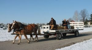 Take A Horse Drawn Wagon Ride Through An Idyllic Christmas Tree Farm At Pine Tree Barn In Ohio