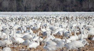 Attend Swan Days To Celebrate The Magical Return Of The Alaska Tundra Swans To A North Carolina Lake In December