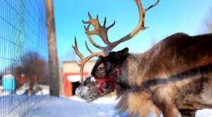 The Holidays Aren't Complete Without A Visit To The Positively Magical Vermont Reindeer Farm