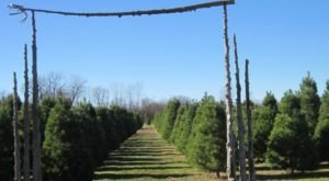 Choose A Real Christmas Tree For Your Family At Kansas' Country Christmas Tree Farm