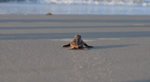 Half A Million Sea Turtles Hatched In South Carolina This Year, Setting A Record