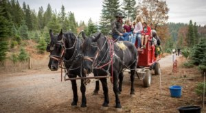 Take A Sleigh Ride Through An Idyllic Christmas Tree Farm At Snowy Peaks Tree Farm In Northern California