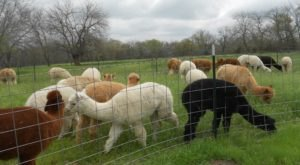 Ad Astra Alpaca Farm In Kansas Makes For A Fun Family Day Trip