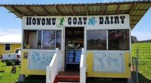 Frolic With Goats And Taste Fresh Goat Milk Caramel At The Underrated Honomu Goat Dairy Farm In Hawaii