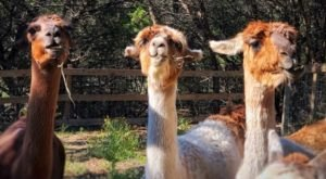 Sip Drinks And Play With Llamas At The Shady Llama, A Beer Garden In Texas